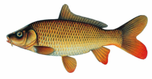 Carp Illustratio