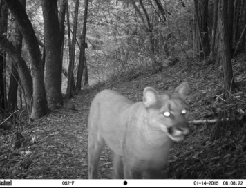 Mountain lion (cougar) on one of the preserve trails.