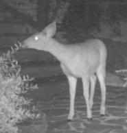 Deer2_stealth