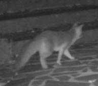 Fox_stealth
