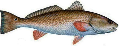 The victimized redfish