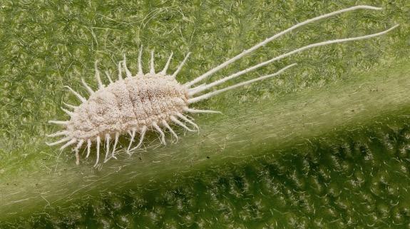 cochineal bug