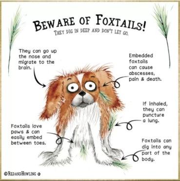 Beware of Foxtails
