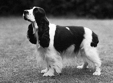 Queenie cocker spaniel