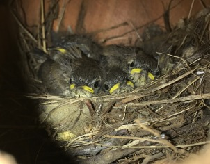 Newly hatched Bewick's Wren chicks in one of my bird houses. It took two years to get a tenant, but it was quite a thrill to see these little guys.