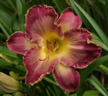Daylily (Hemerocallis'Elizabeth's Magic')